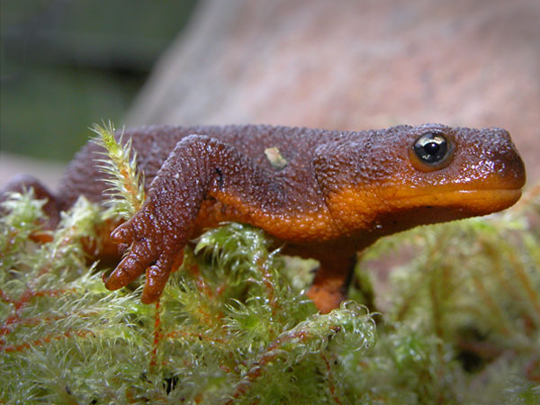 Rough-skinned Newt clipart #7, Download drawings