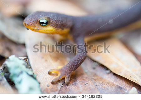 Rough-skinned Newt clipart #2, Download drawings