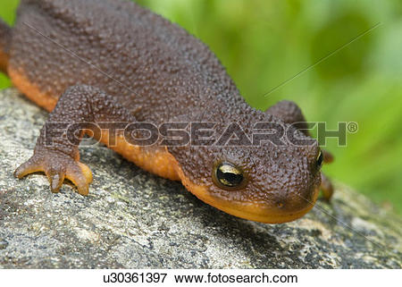 Rough-skinned Newt clipart #19, Download drawings