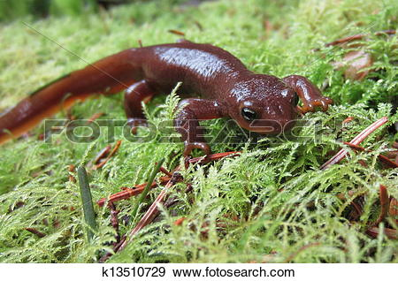 Rough-skinned Newt clipart #17, Download drawings