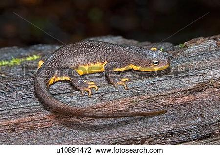 Rough-skinned Newt clipart #18, Download drawings