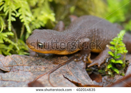 Rough-skinned Newt clipart #15, Download drawings