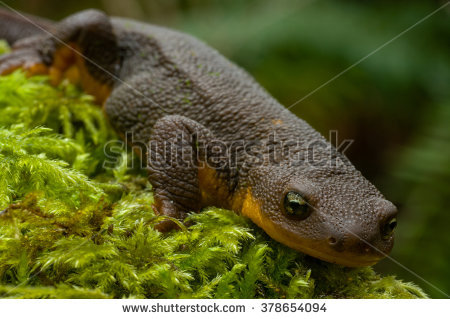 Rough-skinned Newt clipart #13, Download drawings