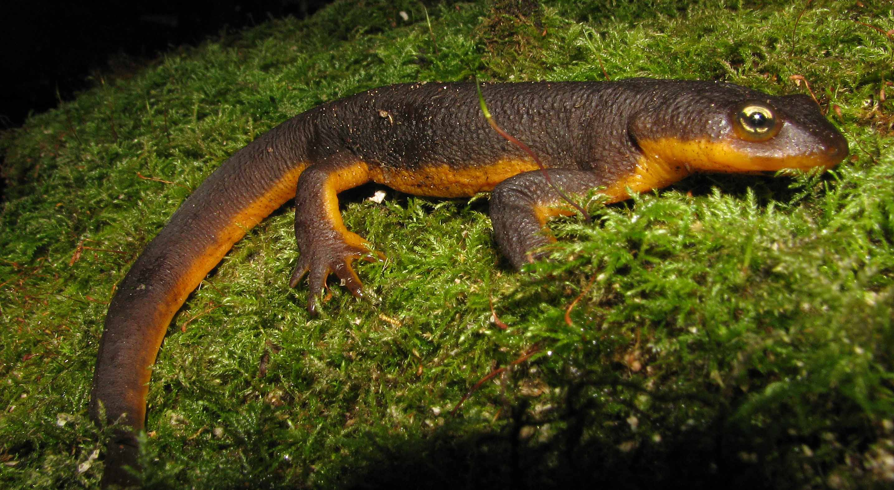 Rough-skinned Newt clipart #1, Download drawings