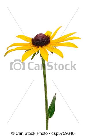 Rudbeckia clipart #11, Download drawings