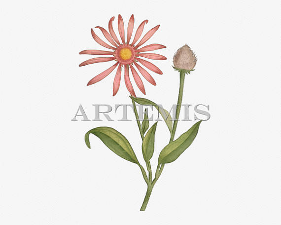 Rudbeckia clipart #8, Download drawings