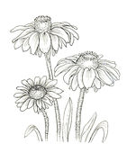 Rudbeckia clipart #10, Download drawings