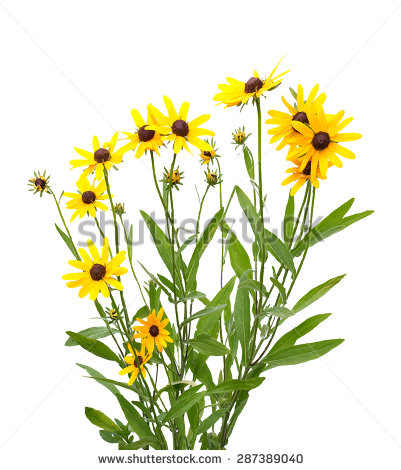 Rudbeckia clipart #18, Download drawings