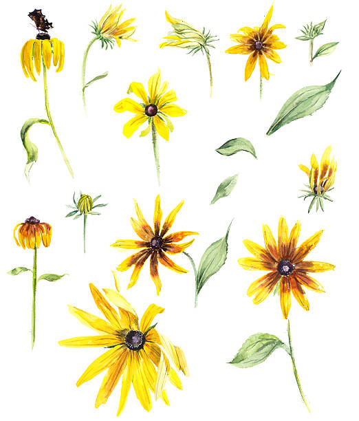 Rudbeckia clipart #16, Download drawings