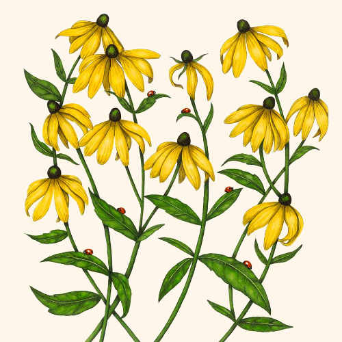 Rudbeckia clipart #2, Download drawings