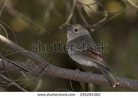 Rufous Whistler clipart #2, Download drawings