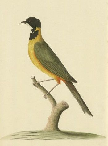 Rufous Whistler clipart #8, Download drawings