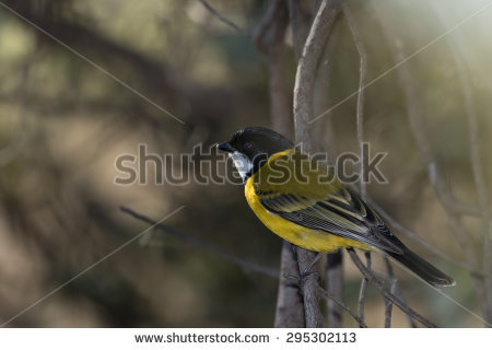 Rufous Whistler clipart #11, Download drawings