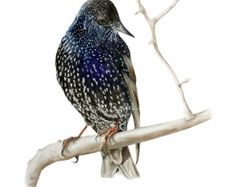 Rufous Whistler clipart #3, Download drawings