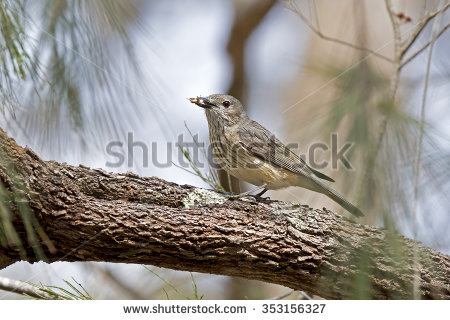 Rufous Whistler clipart #20, Download drawings
