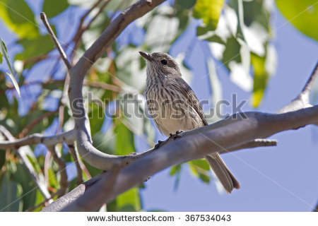 Rufous Whistler clipart #16, Download drawings