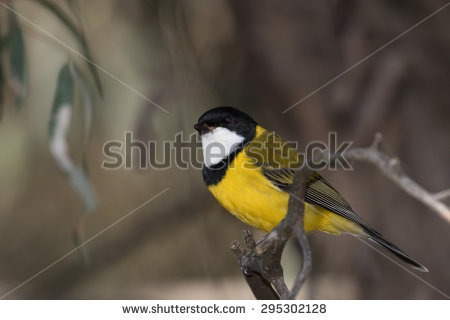 Rufous Whistler clipart #19, Download drawings