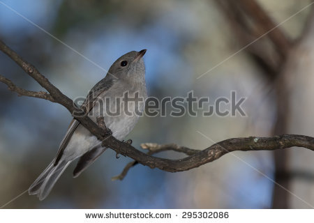 Rufous Whistler clipart #18, Download drawings