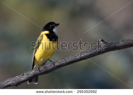 Rufous Whistler clipart #14, Download drawings