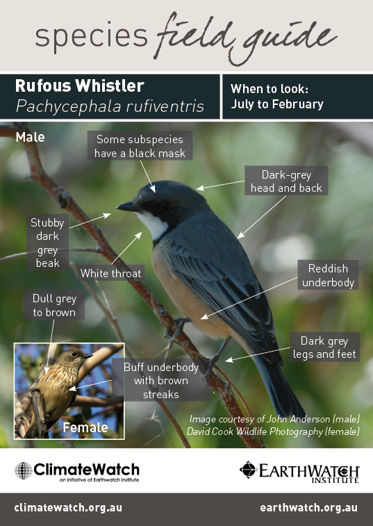 Rufous Whistler svg #3, Download drawings
