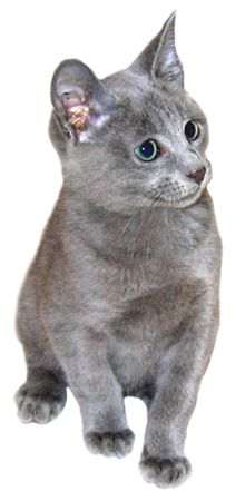 Russian Blue clipart #3, Download drawings