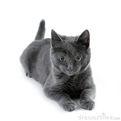 Russian Blue clipart #14, Download drawings