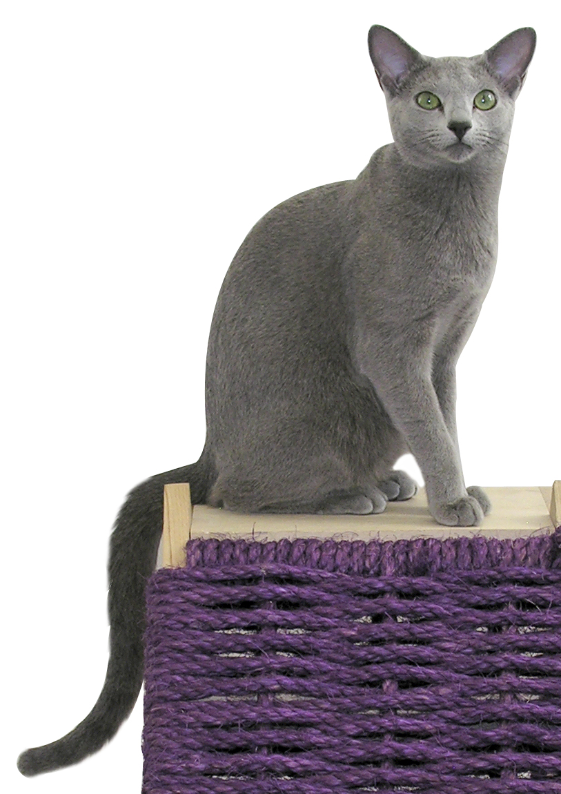 Russian Blue clipart #7, Download drawings