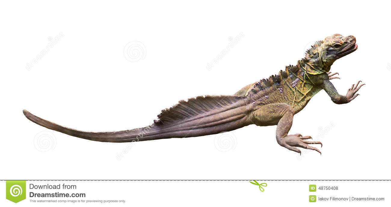Sailfin Lizard clipart #20, Download drawings