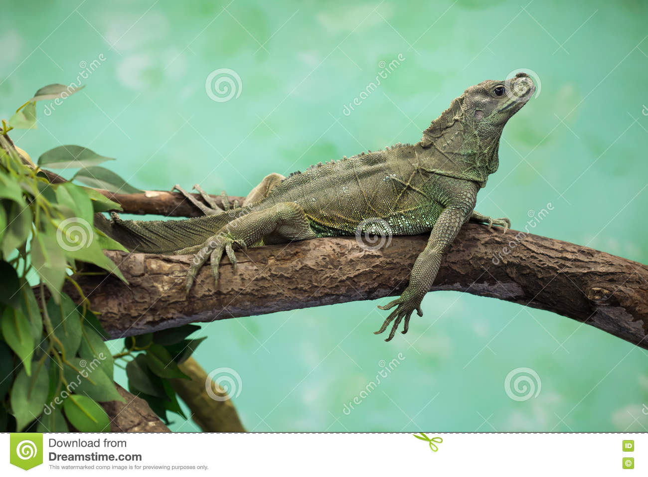 Sailfin Lizard clipart #8, Download drawings