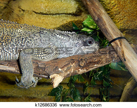 Sailfin Lizard clipart #17, Download drawings