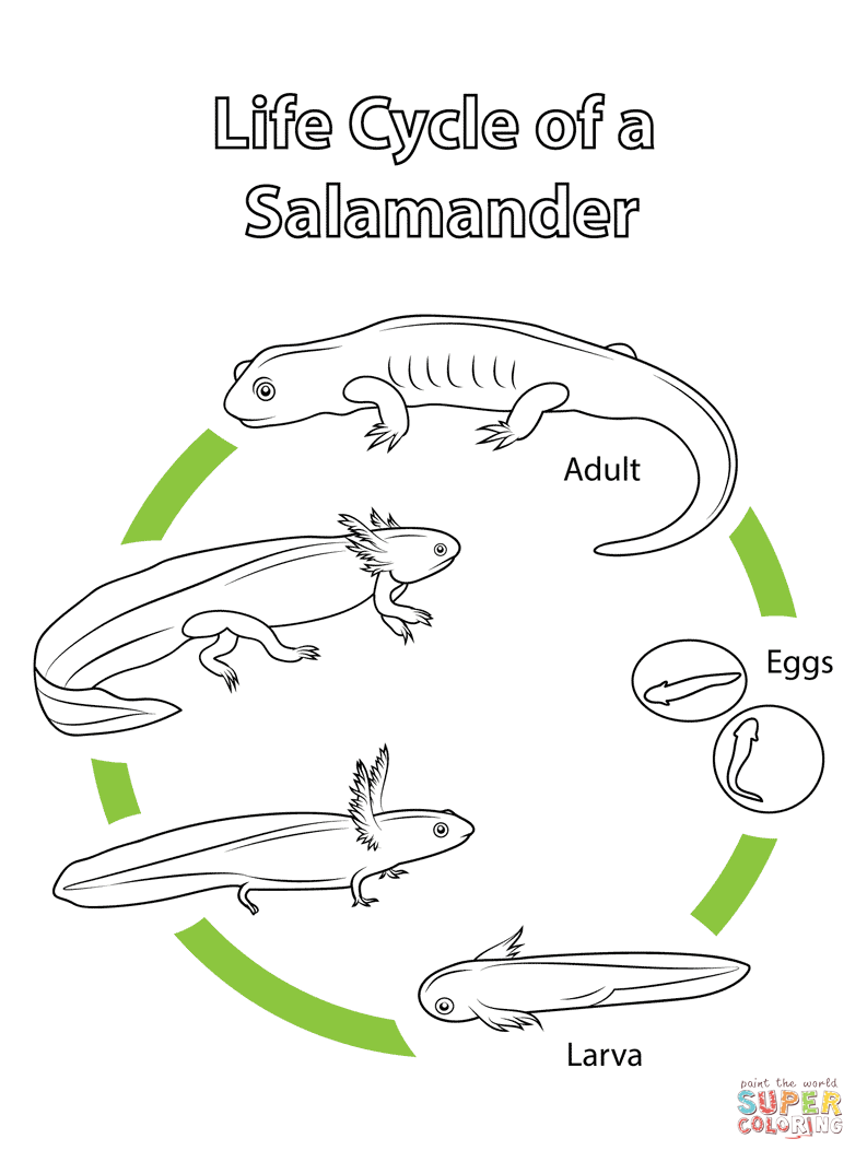 Salamander coloring #2, Download drawings