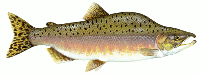 Salmon clipart #11, Download drawings