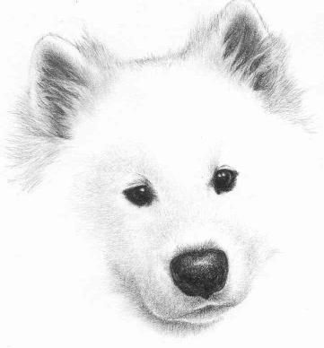 Samoyed clipart #9, Download drawings