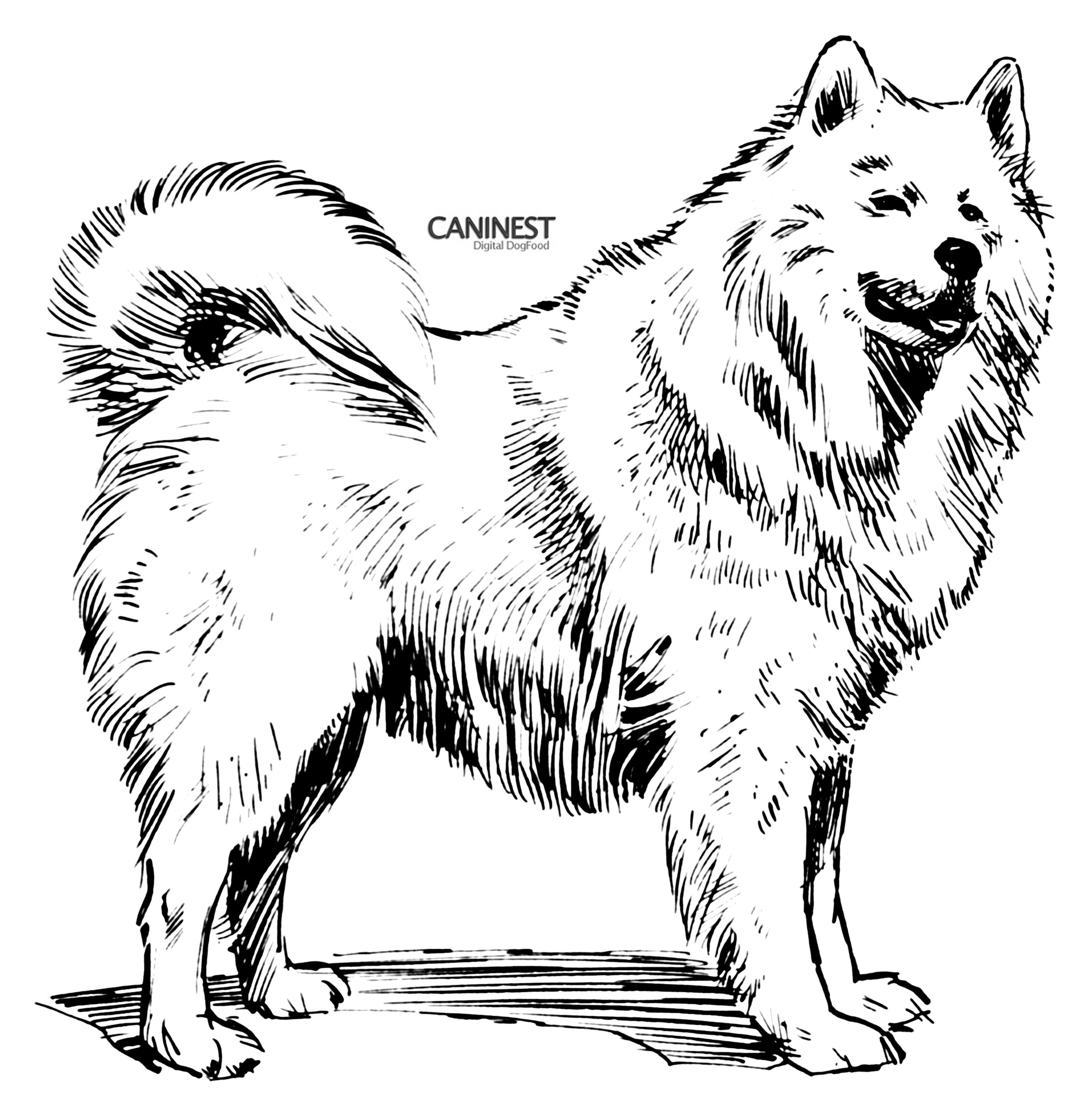 Samoyed coloring #2, Download drawings