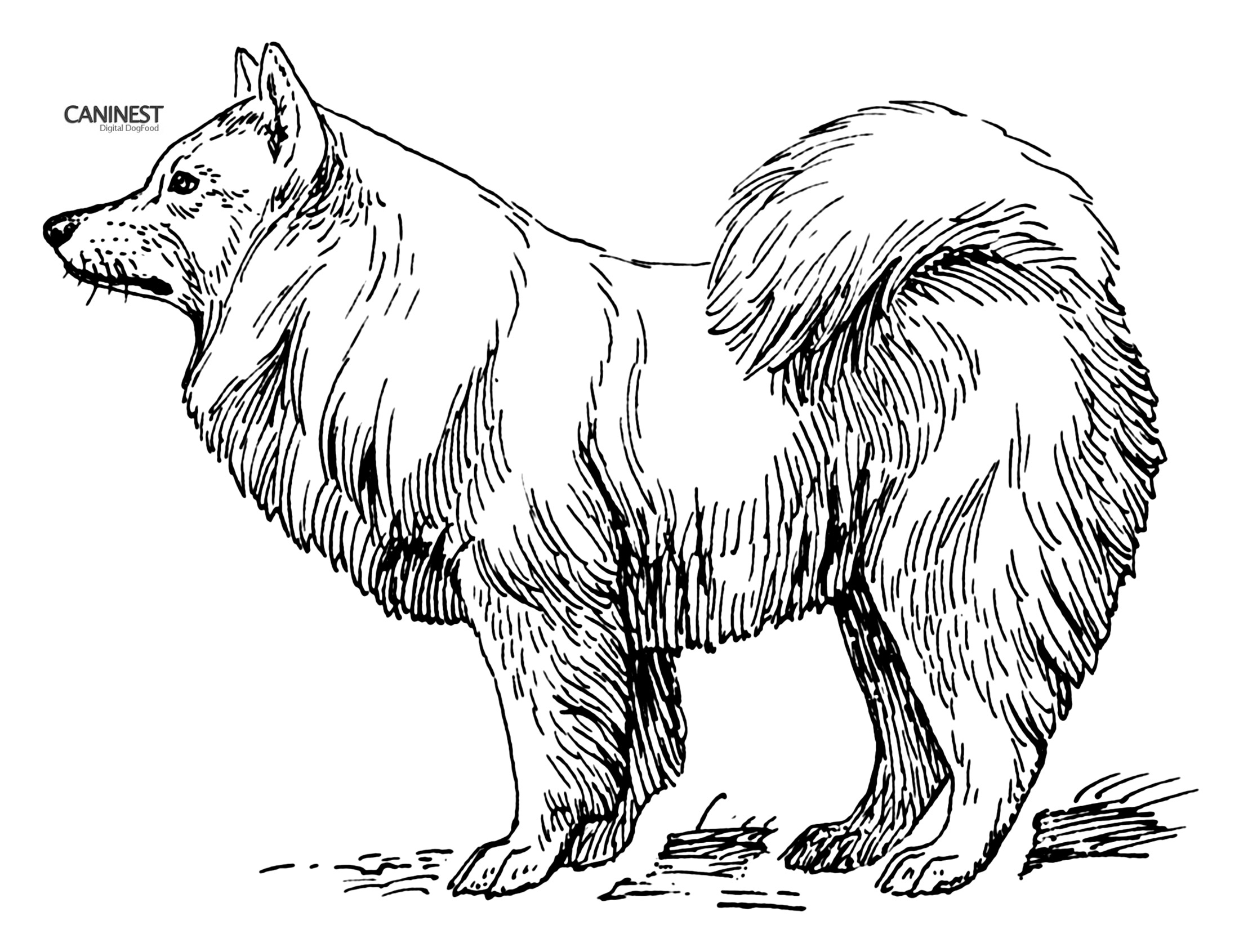 Samoyed coloring #6, Download drawings