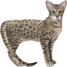 Serval clipart #17, Download drawings