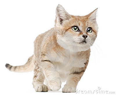 Sand Cat clipart #6, Download drawings