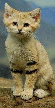 Sand Cat Coloring Download Sand Cat Coloring For Free 2019
