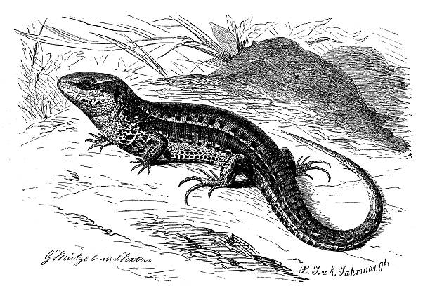 Sand Lizard clipart #16, Download drawings