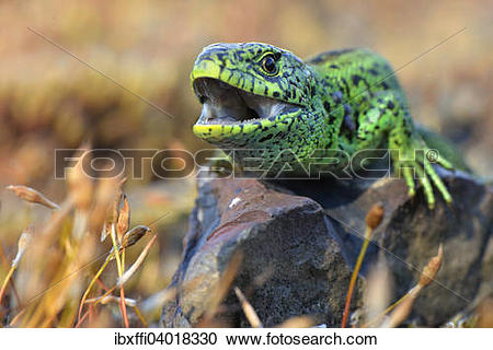 Sand Lizard clipart #15, Download drawings