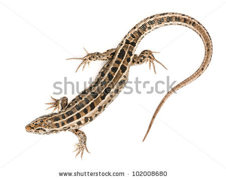 Sand Lizard clipart #4, Download drawings