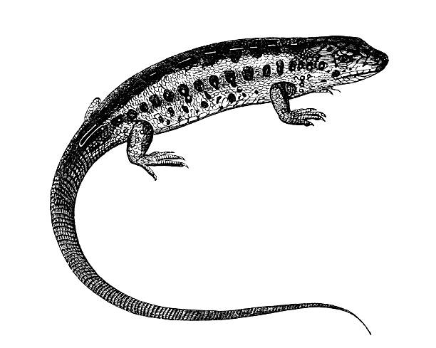 Sand Lizard clipart #7, Download drawings