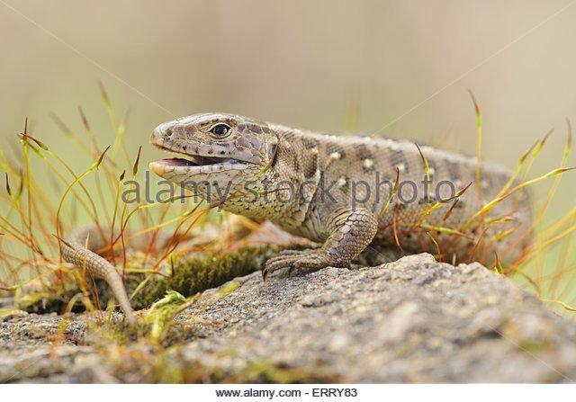 Sand Lizard coloring #8, Download drawings