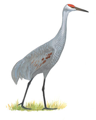 Sandhill Crane clipart #20, Download drawings