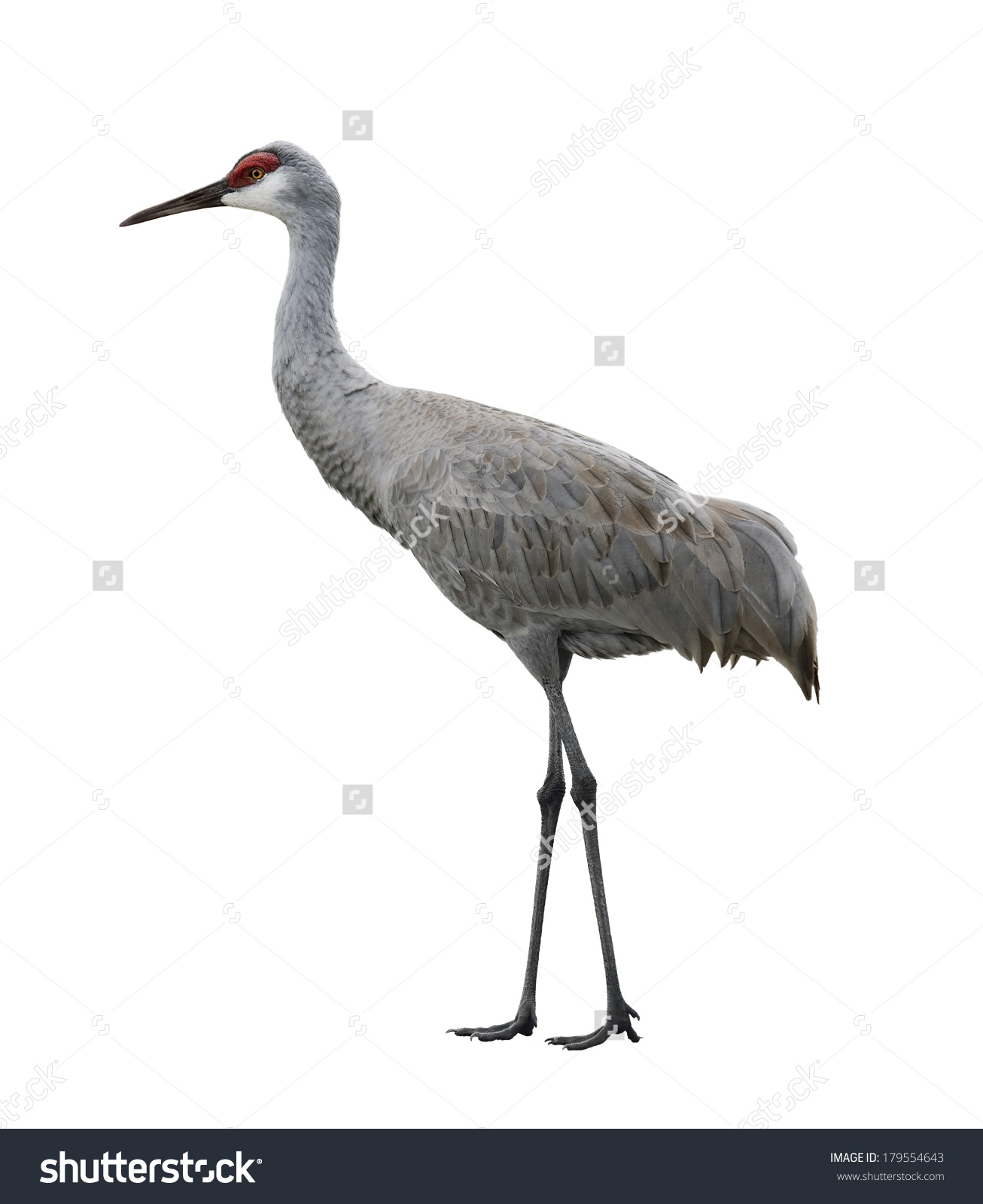 Sandhill Crane clipart #10, Download drawings