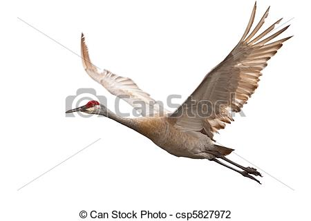 Sandhill Crane clipart #8, Download drawings