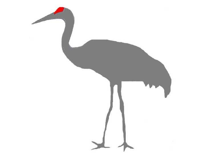 Sandhill Crane clipart #15, Download drawings