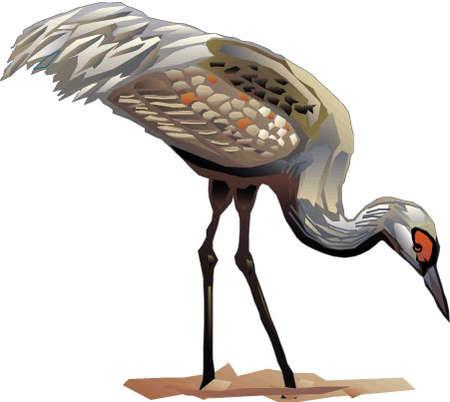 Sandhill Crane clipart #4, Download drawings