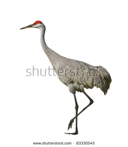 Sandhill Crane clipart #16, Download drawings