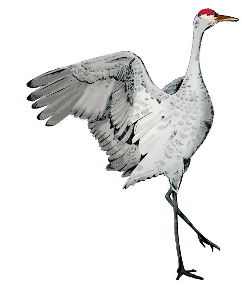 Sandhill Crane clipart #1, Download drawings